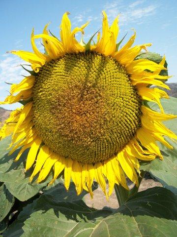 How To Prepare Fresh Sunflower Seeds Eat